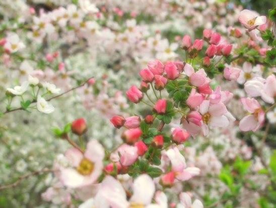ピンクの雪柳.jpg